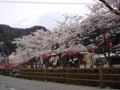 城崎温泉街の桜