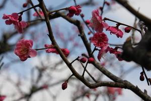 紅梅のお花が2月下旬より開花します。